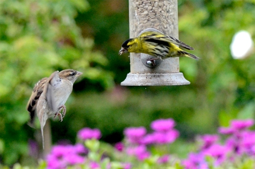 siskin being mean to sparrow