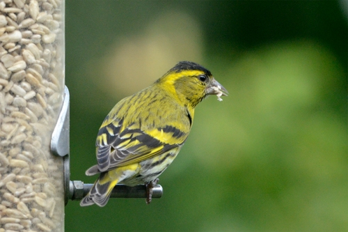 siskin chewing