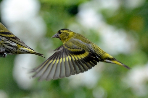 siskin in queue
