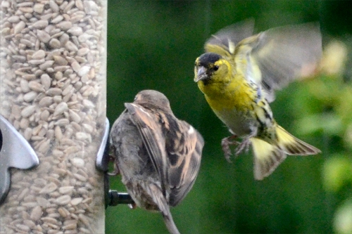 siskin looming
