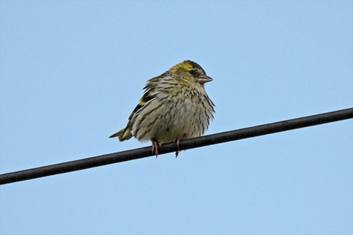siskin on electricty wire