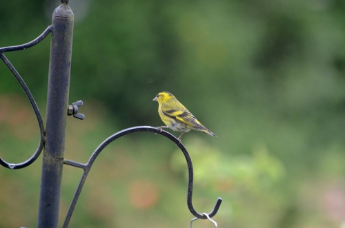 siskin on new feeder