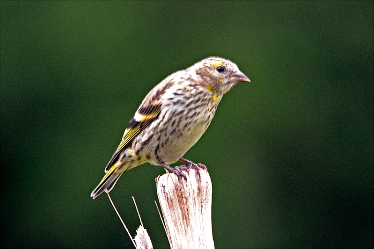 siskin on new stalk