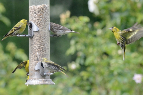 siskin waiting in wings