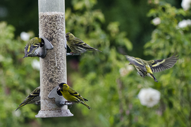 siskins at feeder
