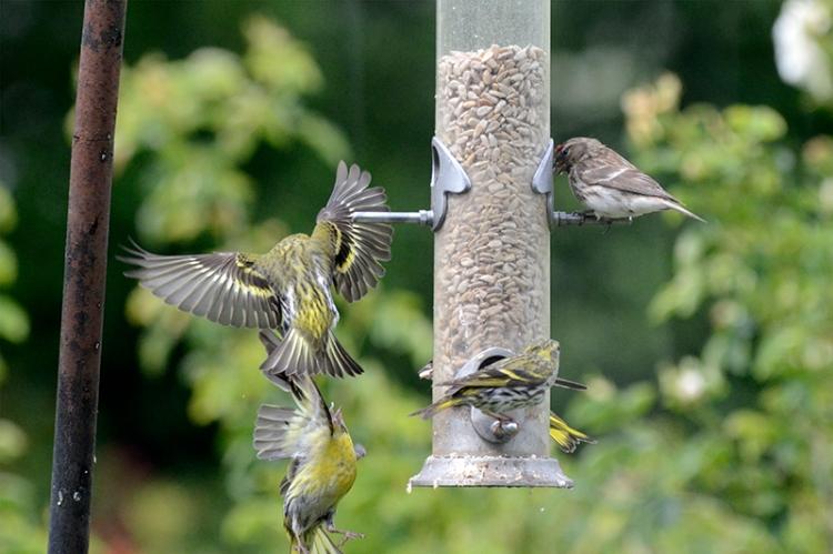 siskins squabbling nf