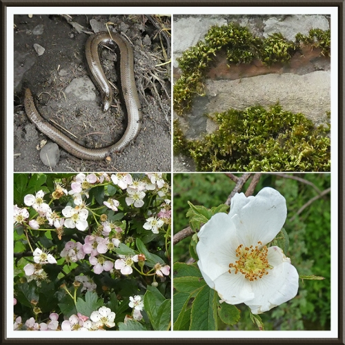 slow worm, hedge rose, moss and hawthorn