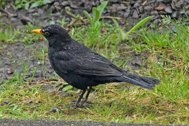 soggy blackbird