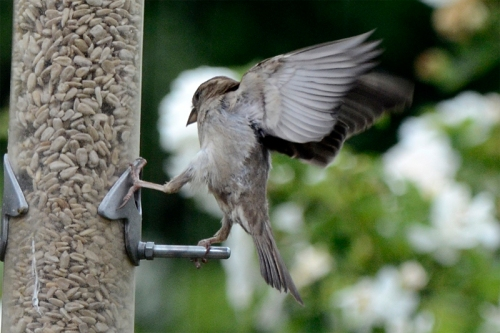 sparrow hanging on