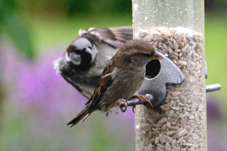 sparrow looming