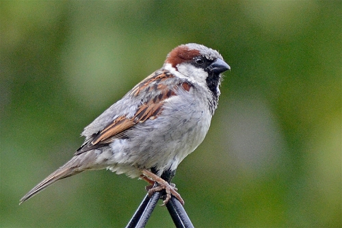 sparrow on pole