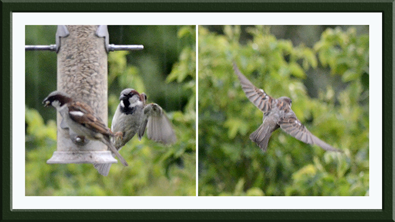 sparrows coming and going