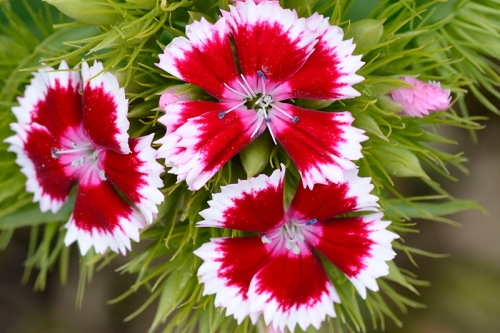 sweet william stunner