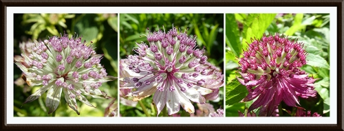 three astrantia