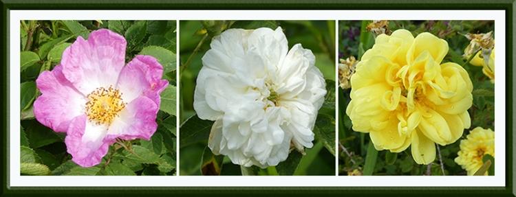 three happy roses