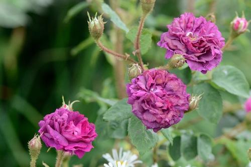 three moss roses