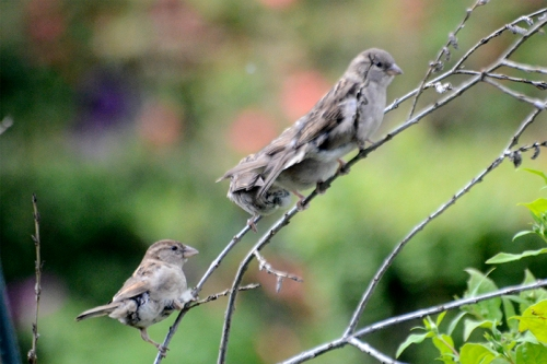 three young sparrows