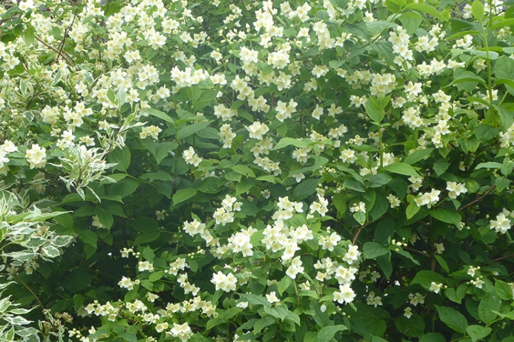 thriving philadelphus