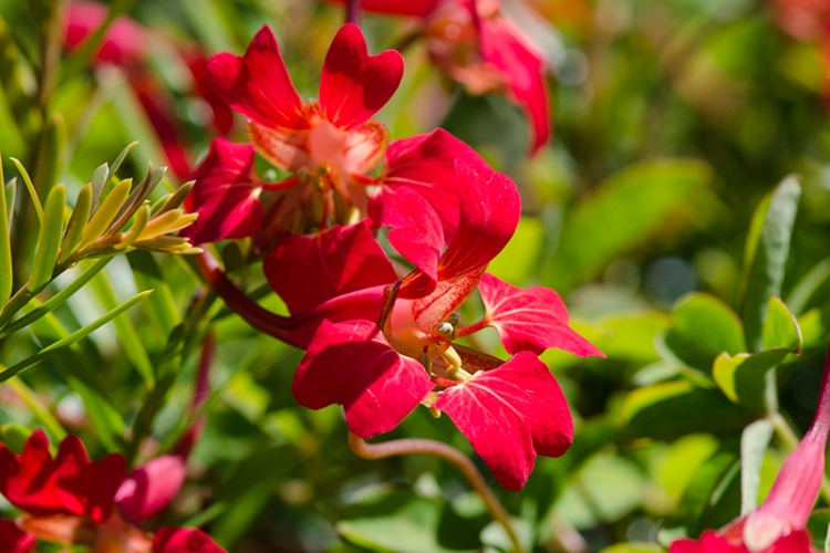 tropaeloum flower out