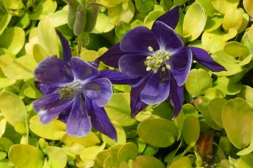 two aquilegia on box