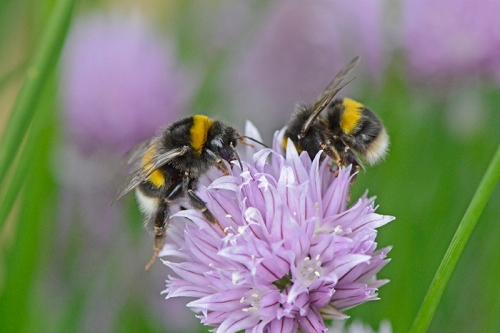 two bees on chive