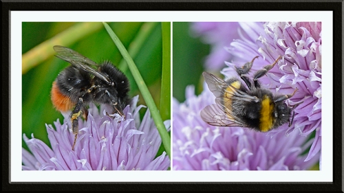 two bees on chives