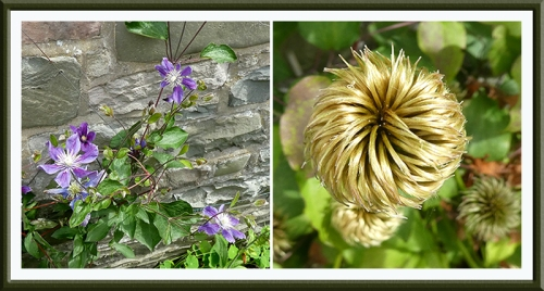 two front door clematis