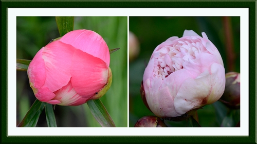 two near peonies