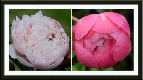 two nearly peonies