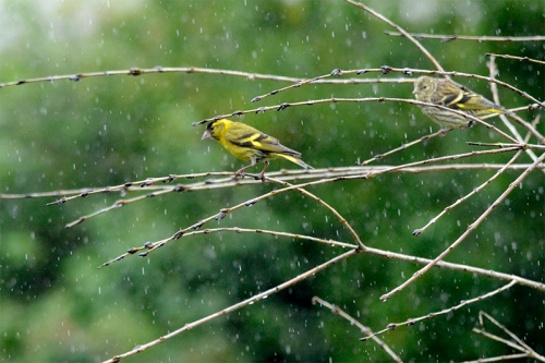 two siskin on fake tree in rain