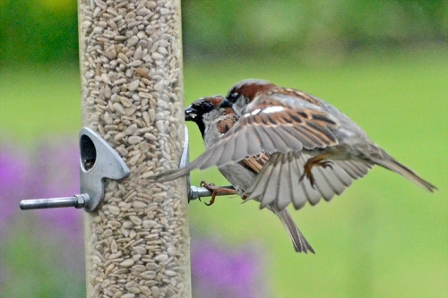 two sparrows incoming