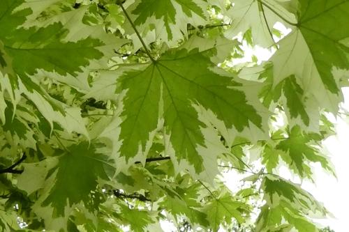 varied leaf