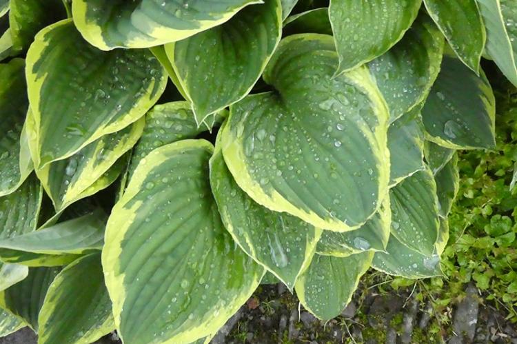 wet hosta leaves
