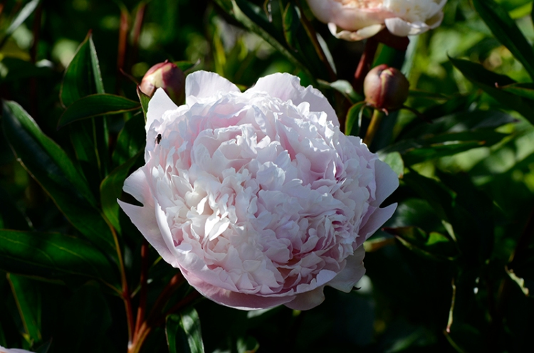 white peony out