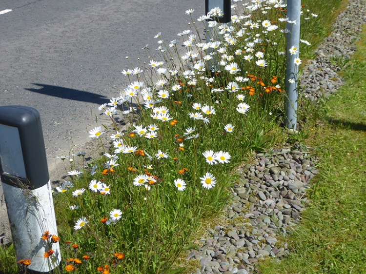 wild flowers at Bentpath