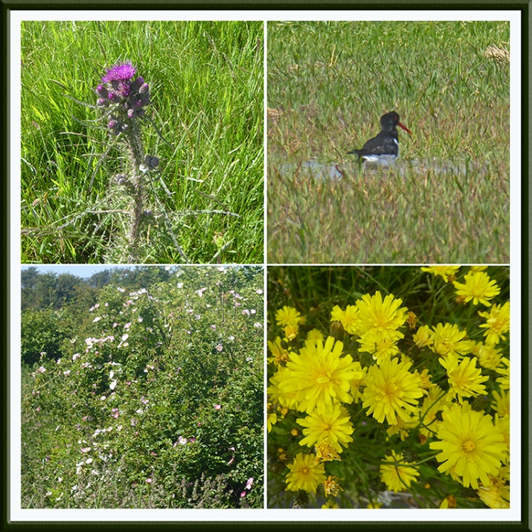 wild flowers on way to Bowness