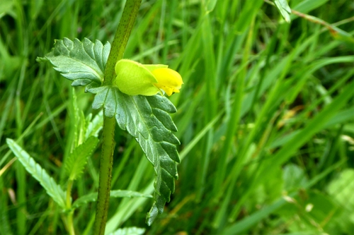 yellow rattle (2)