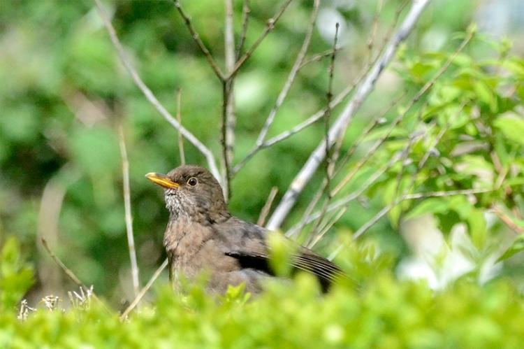 young blackbird on hedge