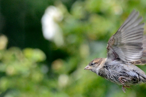 young flying sparrow rushing in