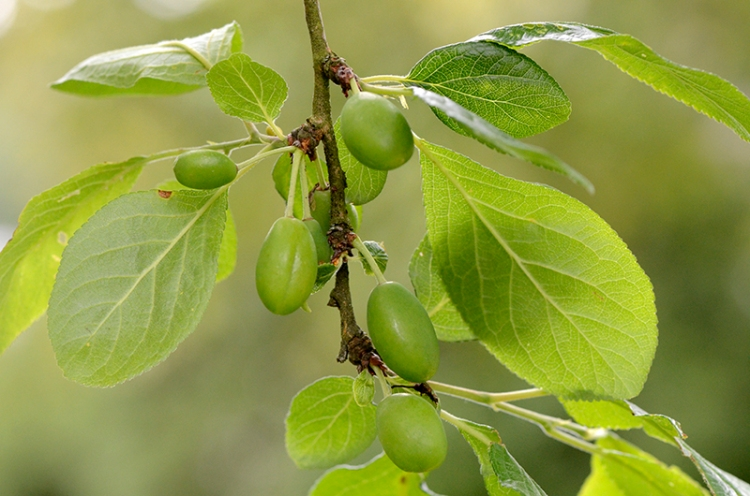 young plums