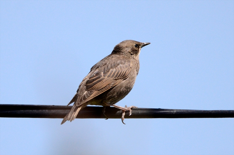 young starling on wire