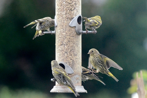 a squabble of siskins