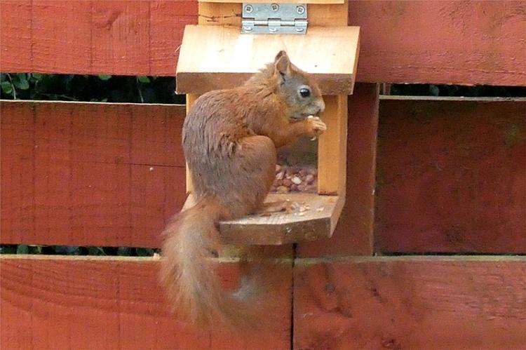 Arran squirrel
