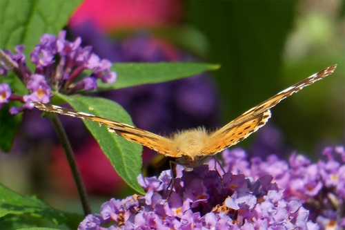 back view of painted lady butterfly