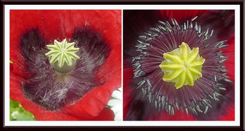 bee ravaged poppy