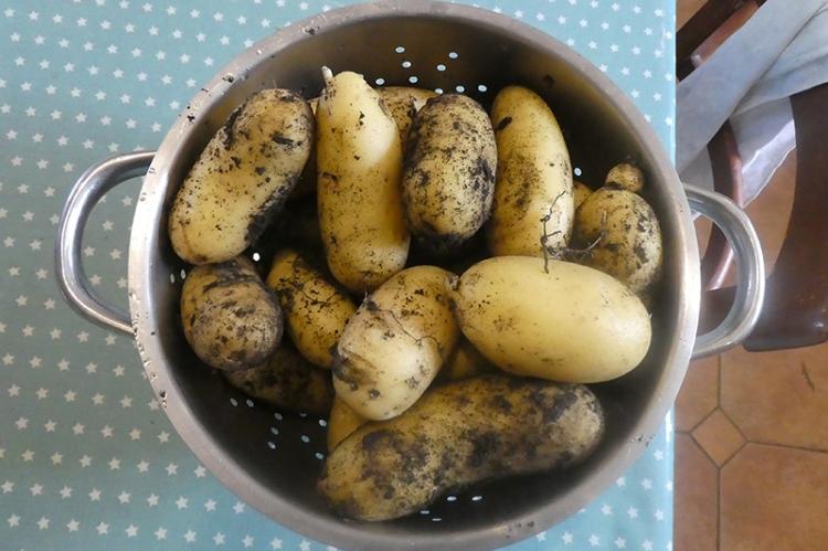 big potatoe crop
