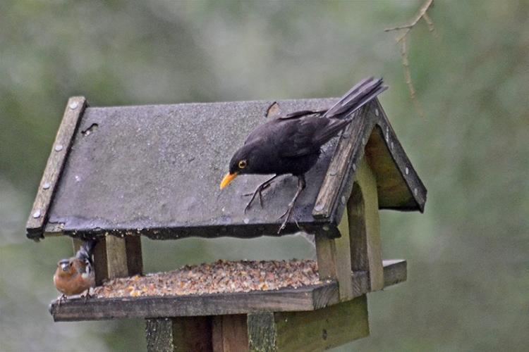 blackbird moorland feeders