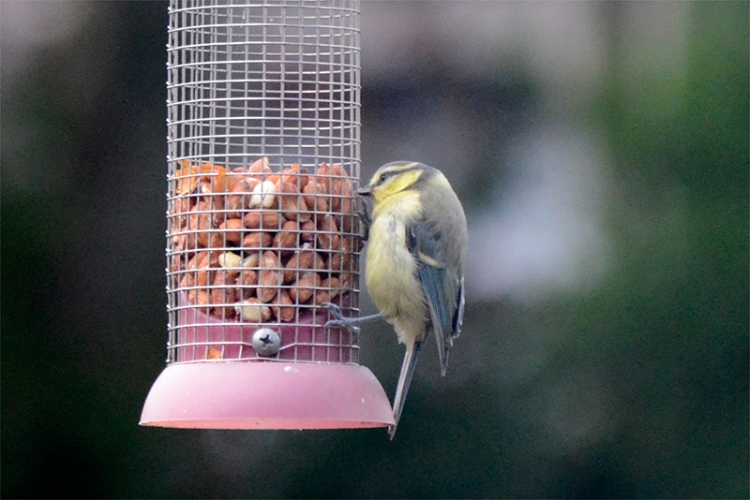 blue tit going nuts