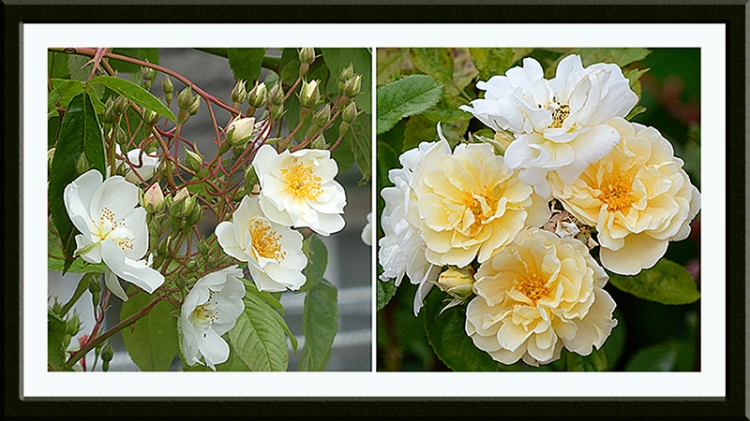 bobbie James and goldfinch roses