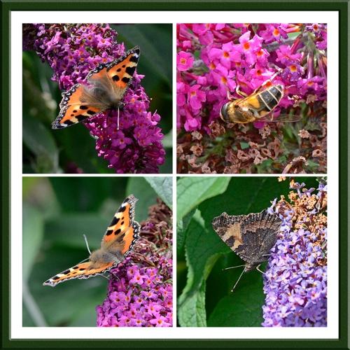 butterflies amnd bees on buddleaia